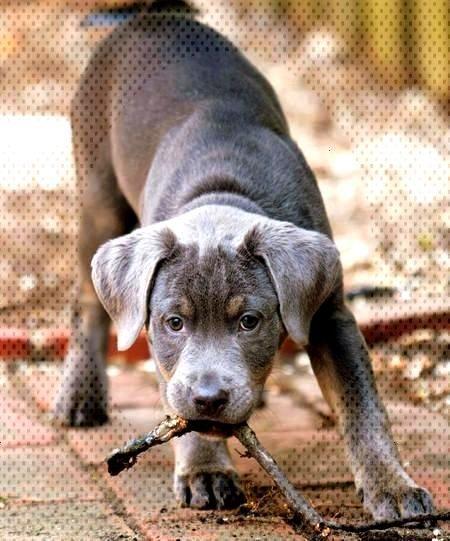 ت Pitbull Pitbull Terrier American Pitbull Terrier Pitbulls