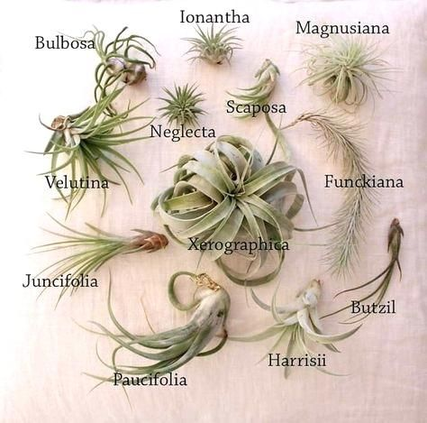 Air Plant Identification Types Of Air Plants Air Plant Garden