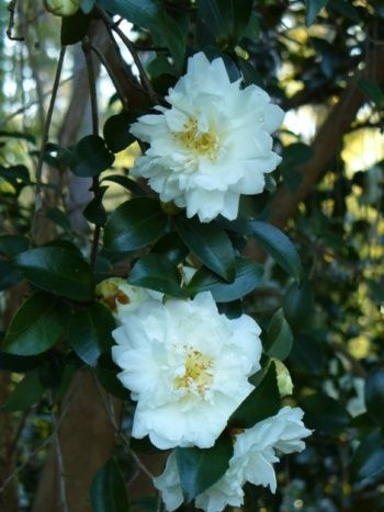Snow On The Mountain Camellia : mountain, camellia, Camellia, Mountain, Flower, Wallpaper