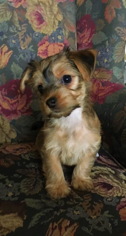 Male And Female Morkie Puppies Maltese Yorkshire Terrier For Sale Adoption From Tasmania Hobart Met Yorkshire Terrier For Sale Morkie Puppies Yorkshire Terrier