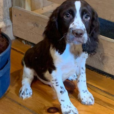 Stanley English Springer Spaniel Puppies For Sale In East Palestine Ohio In 2020 With Images Spaniel Puppies For Sale Spaniel Puppies Springer Spaniel Puppies