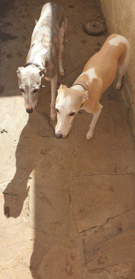 Pin On Lovely Whippets