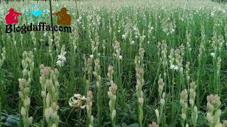 Syarat Tumbuh Tanaman Hias Bunga Sedap Malam Menanam Bunga Bunga Menanam