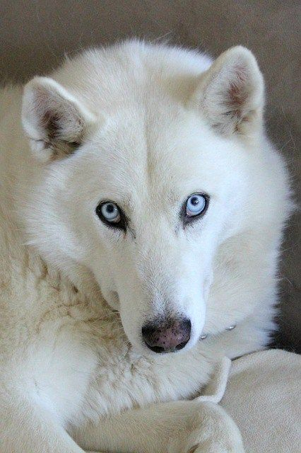 10 Questions About White Husky And Golden Retriever Husky Dog