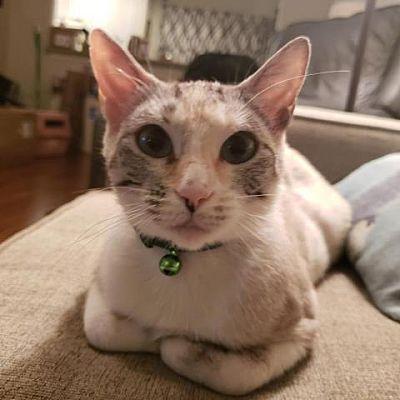Dallas Tx Siamese Meet Beatrice A Pet For Adoption In 2020 Pet Adoption Pets Adoption