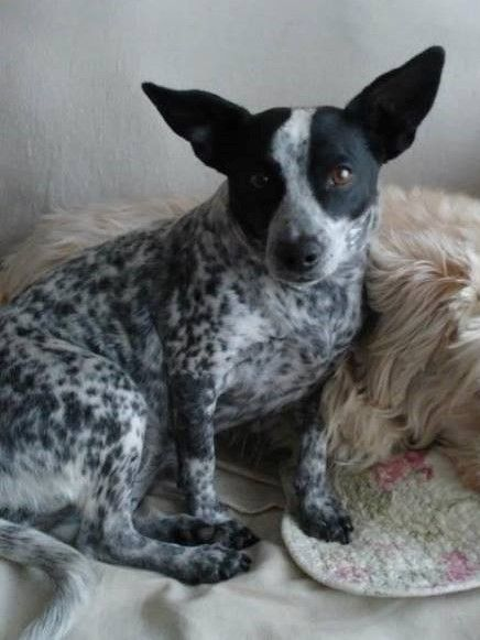 Homeatlast Kiwi The Jack Russell Terrier Blue Heeler Mix From