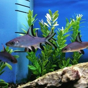 Freshwater Aquarium Sharks Aquarium Sharks Freshwater Aquarium Sharks Freshwater Sharks