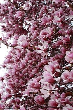 Tree with large pink and white flowers gallery flower decoration ideas beautiful pictures of flower scenery scene wallpaper beautiful pictures of flower scenery scene wallpaper beautiful flowers mightylinksfo