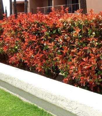 Red Tip Photinia Photinia Red Robin Red Tip Photinia Red Robin Hedge