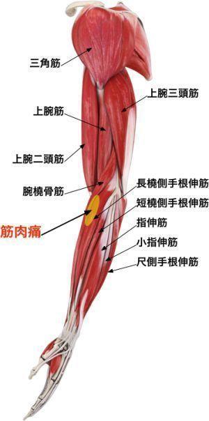 意外と知らない「筋肉の名称」 あなたはどのくらい知ってますか?の画像