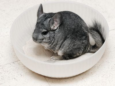 What Do Chinchillas Like To Play With Chinchilla Pet Best Small Pets Small Pets
