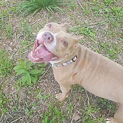 Pottsville Pa Boston Terrier Meet Mya A Dog For Adoption