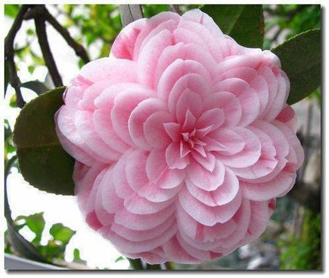 Flower Garden Powder Pink Camelia seeds - 50 Quality Fresh seeds Beautiful Pink Camelias for your garden. Start inside now for a beautiful plant to transfer this Spring! Unusual Flowers, Rare Flowers, Flowers Nature, Amazing Flowers, Pretty Flowers, Pink Flowers, Strange Flowers, Colorful Flowers, Beautiful Flowers Photos