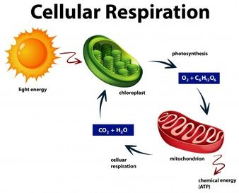 Diagrama Que Muestra La Respiracion Celular Respiracion Celular Material Educativo Celulares Dibujo