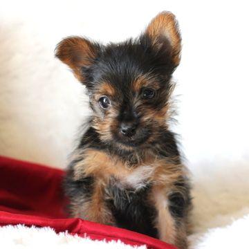 Yorkshire Terrier Puppy For Sale In Gap Pa Adn 70153 On Puppyfinder Com Gender Male Age 1 Yea Yorkshire Terrier Puppies Yorkshire Terrier Puppies For Sale