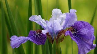 Jak Zrobic Kwiat Irys Z Rajstop Youtube Iris Flowers Macro Photography Flowers Spring Flowers