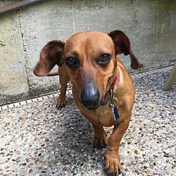 Available Pets At All Texas Dachshund Rescue In Pearland Texas