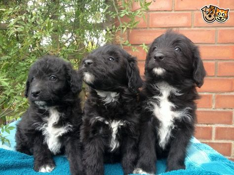 Collie Doodles Fluffy Scruffy Lots Of Fun Melton Mowbray