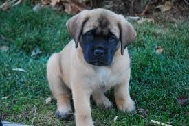 Image Result For Small Dog Breeds That Stay Small And Don T Shed