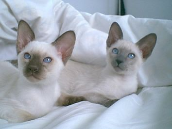 Siamese Cat Photo Gallery Suyaki Siamese Cattery Siamese Kittens For Sale In Florida Siamese Kittens Siamese Cats Kitten For Sale