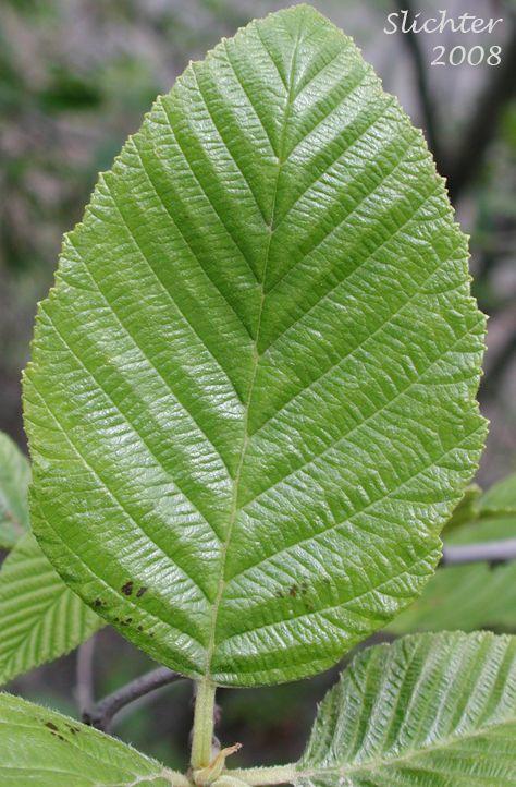White Alder Plant Leaves Shrubs Alder