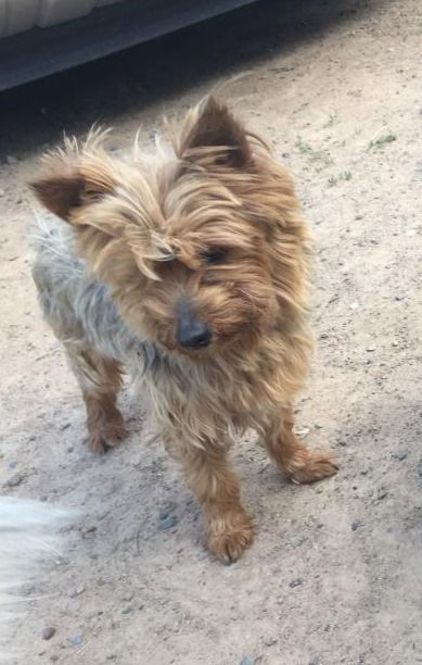 Is This Your Dog Cloquet Yorkshire Terrier Yorkie Male Date