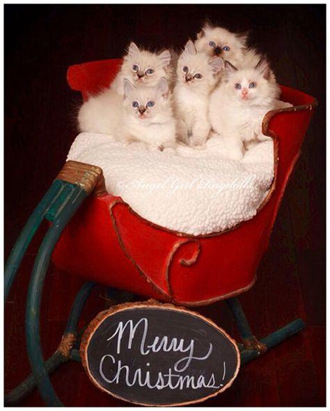 Available Ragdoll Kittens Ragdoll Kitten Ragdoll Kittens For Sale Cats And Kittens