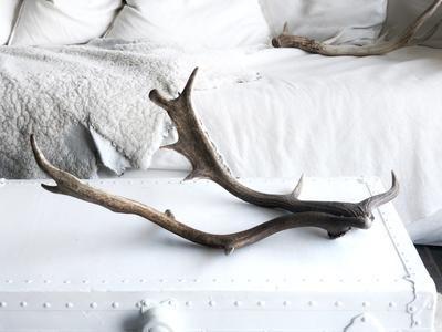 Real Fallow Deer Antler Pair Deer Species Fallow Deer Deer Antlers