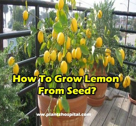 How To Grow Lemon From Seed: Watering, Planting, Positioning & More