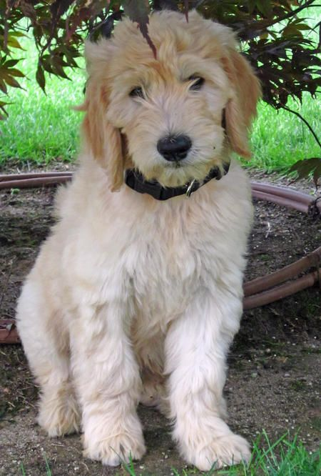 List of Pinterest goldendoodle haircuts summer products