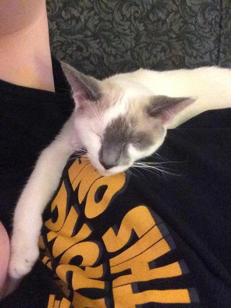 Adopt Mocha On Petfinder Pet Dragon Siamese Cats Cats