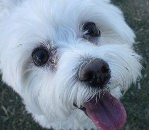 Best Dog Food For Maltese Dogs Our Top Picks Malteser