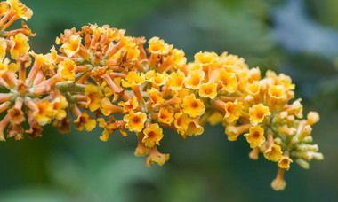 Buddleja Honeycomb Butterfly Bush V Summer Lilac Honeycomb Deciduous Shrub Yellow Flowers Fragrant Butterfly Bush Magenta Flowers Bigleaf Hydrangea