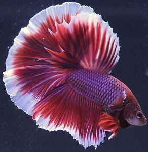 Betta Breeders Lavender Halfmoon Pair Male And Female Live Fish Imported Betta Fish Betta Fish