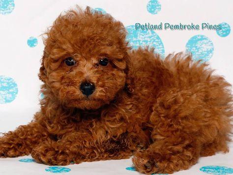 Toy Poodle Financing Available Www Petlandflorida Com Financing