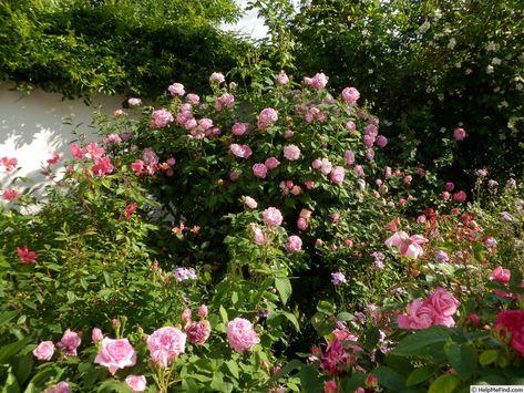 'Honorine de Brabant ' Rose Photo