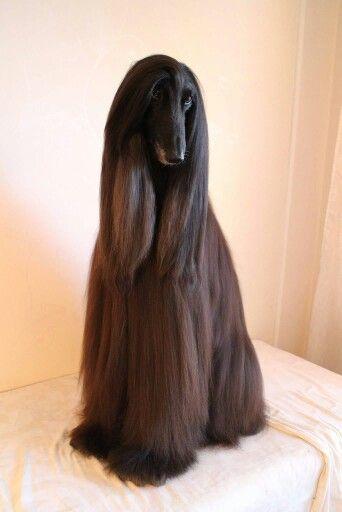 How Beautiful Can One Be Afghan Hound Hairy Dog Hound Dog