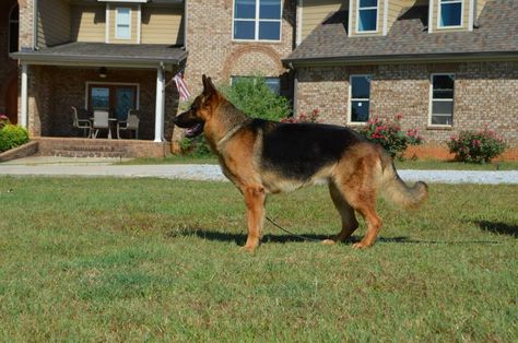 Appleridge Obedience Family German Shepherd Pup Gsd Breeder