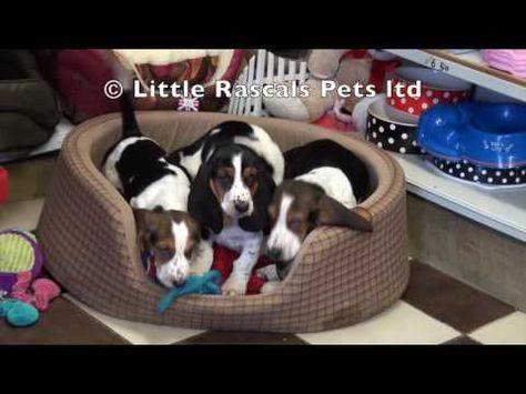 Bassett Hound Puppies Pedigree Puppies For Sale Hound Puppies