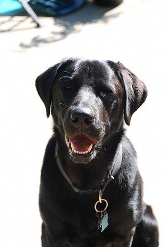 Labrador Breeders Uk The Best Labradornecksize Labradorhuskymix Labradornoteating Labrador Retriever Labrador Labrador Retriever Dog