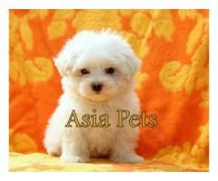 Maltese Puppy Price In Chennai Maltese Puppy For Sale In Chennai Asia Pets Shop We Offer Extr Maltese Puppy Maltese Puppies For Sale Puppies For Sale