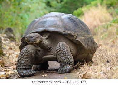 Giant Tortoise In El Chato Tortoise Reserve Galapagos Islands Ecuador Schildkrote Landschildkroten Galapagos Inseln