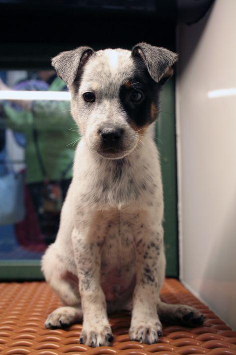 Blue Heeler Cross Jack Russell Google Search Heeler Puppies Blue Heeler Puppies Puppy Mix