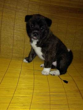 Litter Of 5 Akita Puppies For Sale In Christiansburg Va Adn 68323 On Puppyfinder Com Gender Female Ag With Images Akita Puppies Akita Puppies For Sale Puppies For Sale