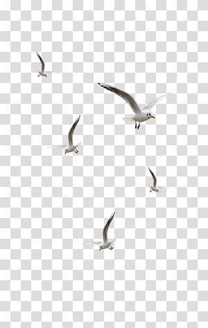 Flock Of White Birds Bird Desktop Seagulls Flying Transparent Background Png Clipart White Bird Seagulls Flying Hummingbird Illustration