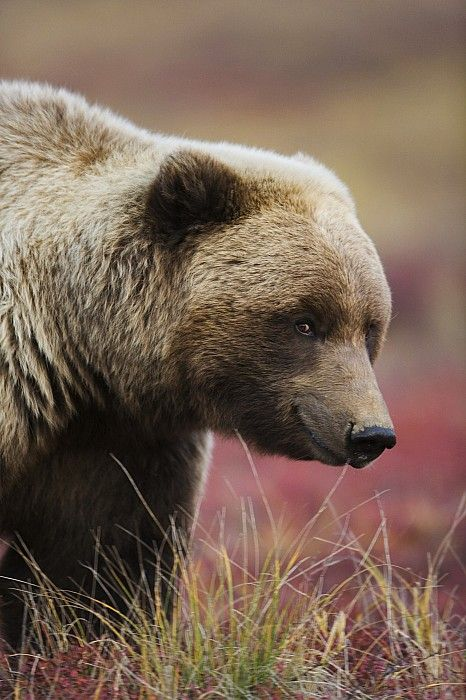 Smiling Grizzly by Milo Burcham