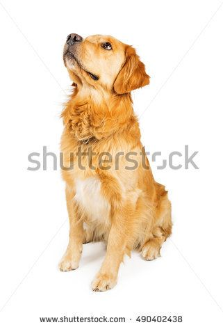 Beautiful Golden Retriever Dog Sitting Down On White To The Side