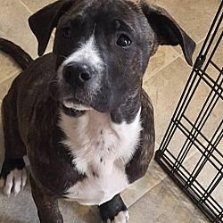 Binghamton, NY - Pit Bull Terrier  Meet Phoebe a Dog for Adoption