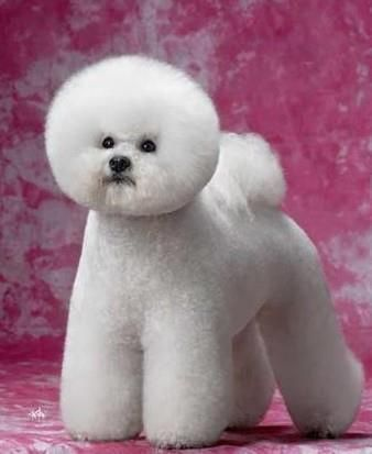 This is a well groomed Bichon Frise all ready for the Westminster Dog Show!