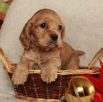Cocker Spaniel Puppy For Sale In Gap Pa Adn 60966 On Puppyfinder Com Gender Male Age 10 Weeks Old Spaniel Puppies For Sale Cocker Spaniel Puppies Puppies For Sale
